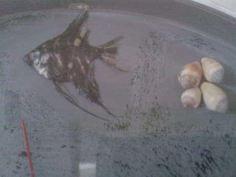 black marble angelfish idi kendisi :(