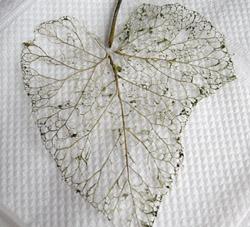 yaprak iskeleti