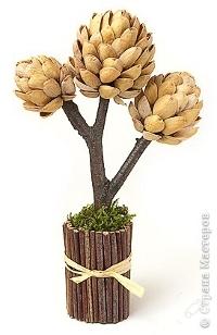 Fıstık kabuğu ağacı